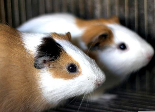 Titel afbeelding Make Sure Your Guinea Pig Is Happy Step 2