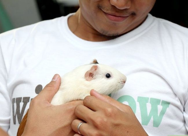 Titel afbeelding Make Sure Your Guinea Pig Is Happy Step 3