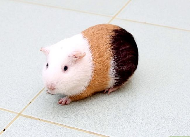 Titel afbeelding Make Sure Your Guinea Pig Is Happy Step 5