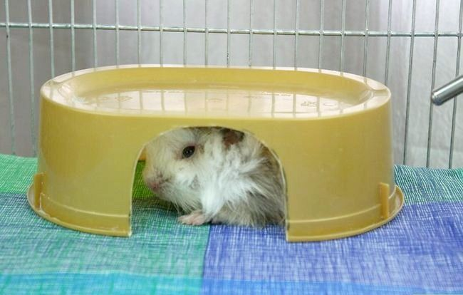 Titel afbeelding Help Your Guinea Pig Live a Long Life Step 2