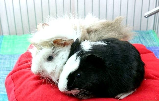 Titel afbeelding Help Your Guinea Pig Live a Long Life Stap 5