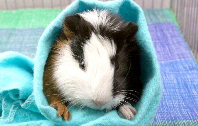 Titel afbeelding Help Your Guinea Pig Leef lang mee Stap 7