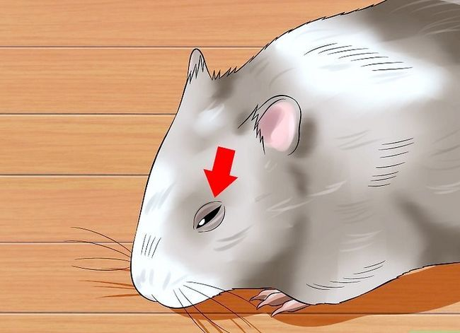 Titel afbeelding Help a Hamster With Sticky Eye Step 2