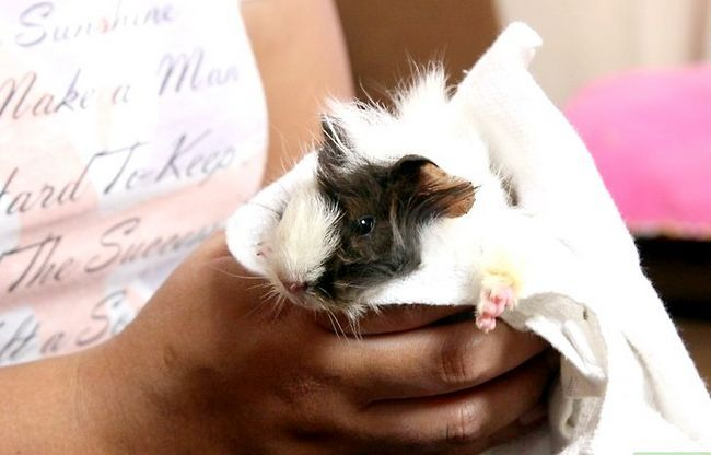 Titel afbeelding Build up a Close Bond with Your Guinea Pig Step 2