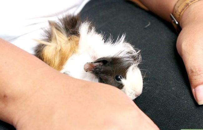 Titel afbeelding Build up a Close Bond with Your Guinea Pig Step 3