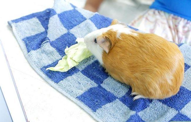 Titel afbeelding Cut Guinea Pig Claws Step 5