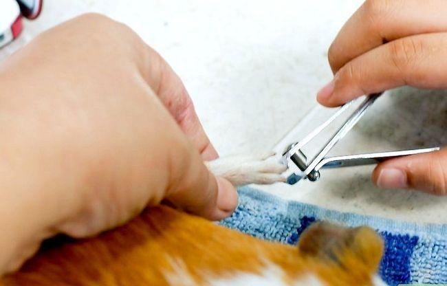 Titel afbeelding Cut Guinea Pig Claws Step 9