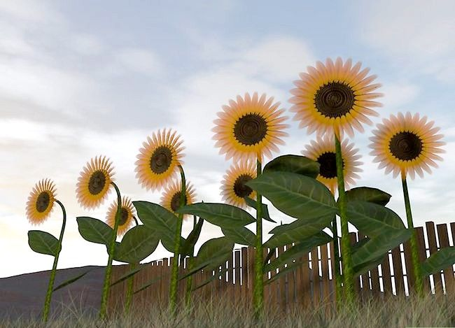 Titel afbeelding Harvest Sunflower Seeds Step 1
