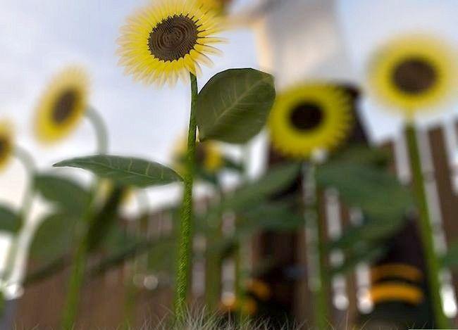 Titel afbeelding Harvest Sunflower Seeds Step 5