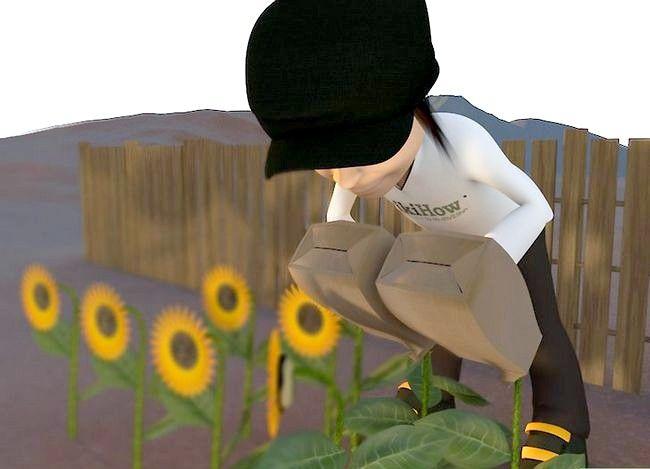 Titel afbeelding Harvest Sunflower Seeds Step 6