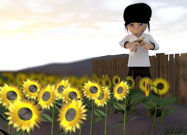 Titel afbeelding Harvest Sunflower Seeds Step 7