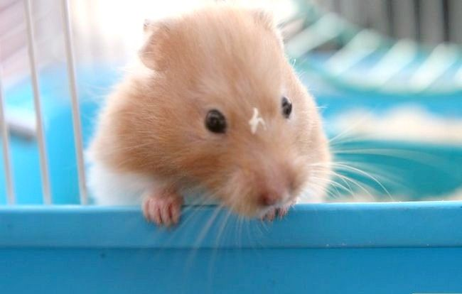 Titel afbeelding Create a Bond With Your Hamster Step 1