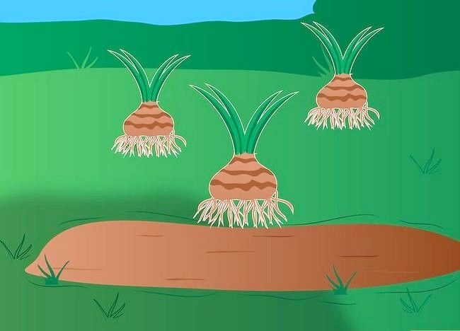Titel afbeelding Grow Agapanthus Step 4