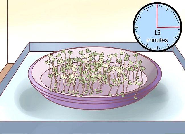 Titel afbeelding Grow Alfalfa Sprouts Step 19