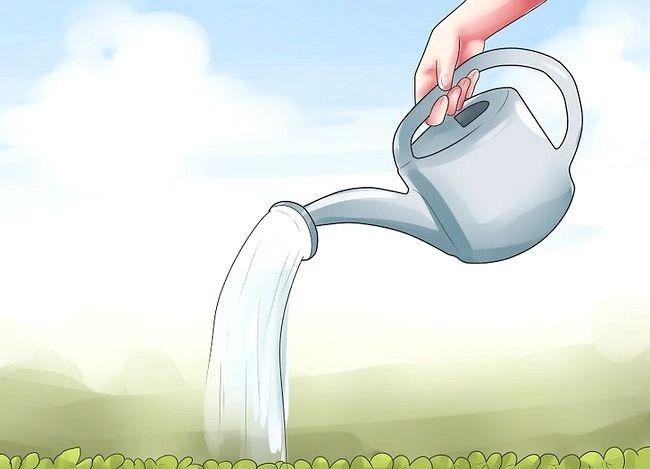 Titel afbeelding Grow Dichondra Step 19