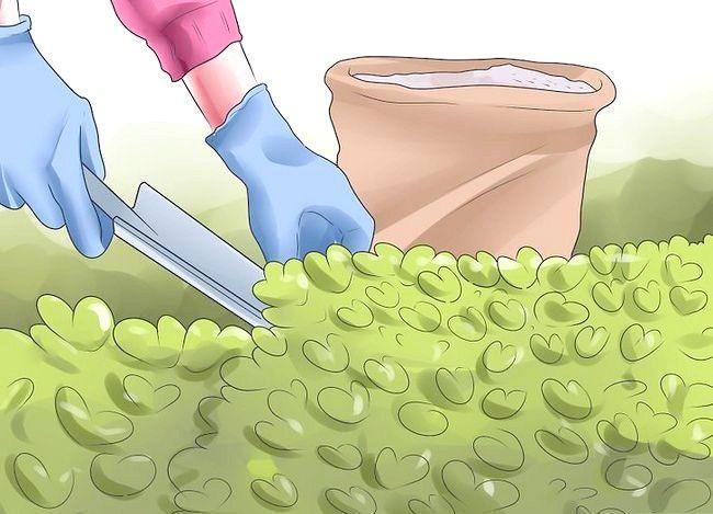 Titel afbeelding Grow Dichondra Step 20