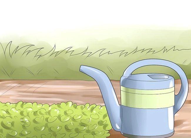 Titel afbeelding Grow Dichondra Step 21
