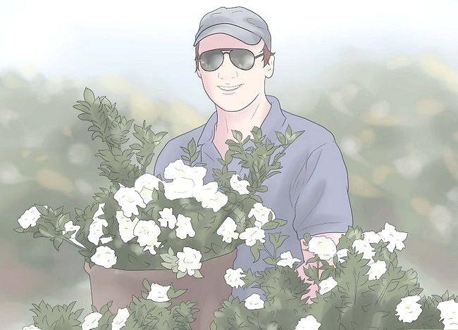 Hoe gardenia`s te kweken