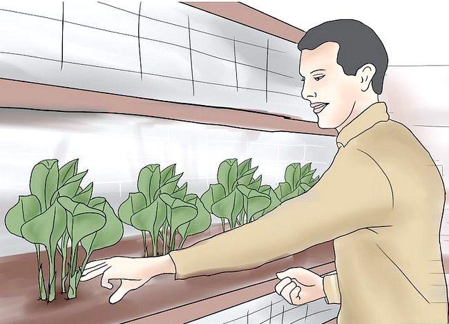 Hoe hostas te laten groeien
