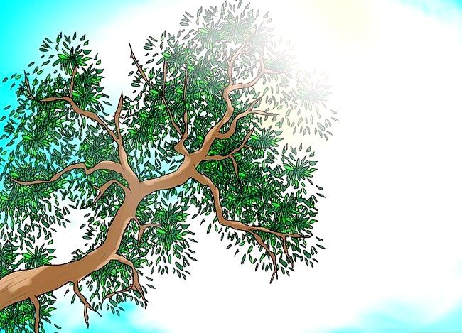 Hoe kanarie-lelies groeien