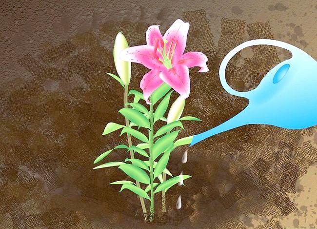 Titel afbeelding Grow Stargazer Lilies Step 8