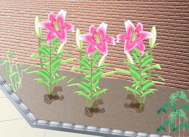 Titel afbeelding Grow Stargazer Lilies Intro