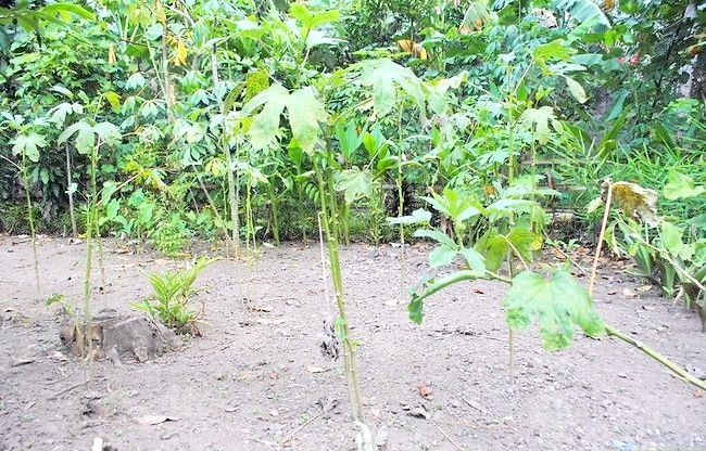 Okras groeien