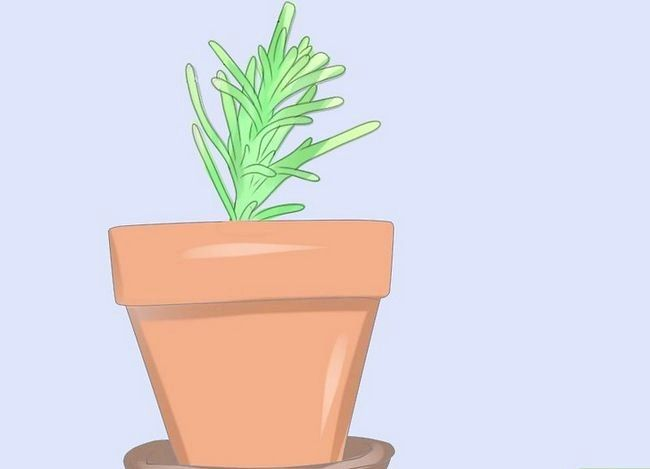 Titel afbeelding Grow Rosemary from Seed Step 18