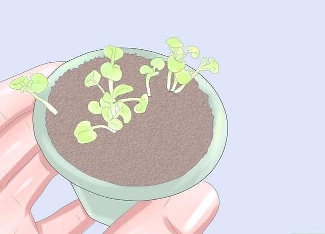 Titel afbeelding Grow Rosemary from Seed Step 8