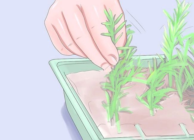 Titel afbeelding Grow Rosemary from Seed Step 10