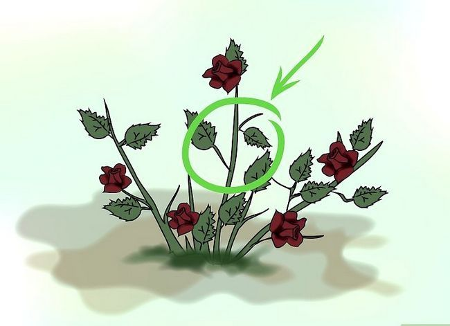 Titel afbeelding Grow Miniature Roses from Cuttings Stap 2