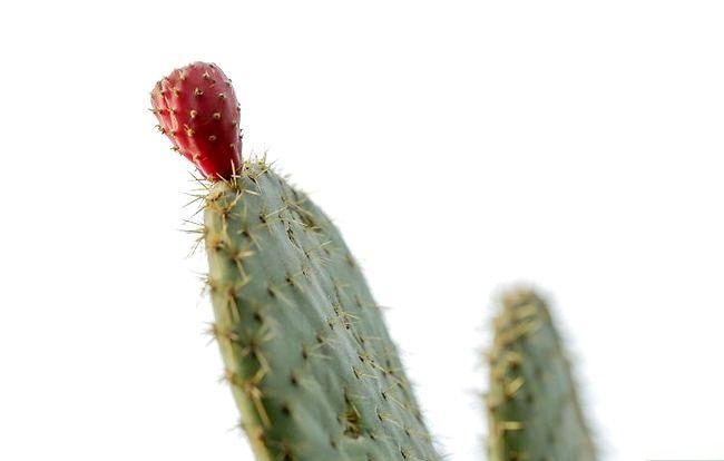 Hoe een cactus te laten groeien