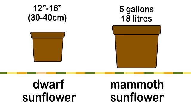 Titel afbeelding Grow a Sunflower in a Pot Step 2