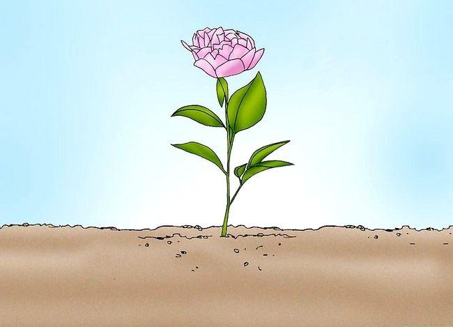 Hoe een pioenroos in een pot te laten groeien