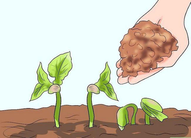 Titel afbeelding Grow a Bean Plant Step 12