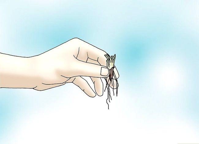 Hoe een Venus Flytrap te laten groeien