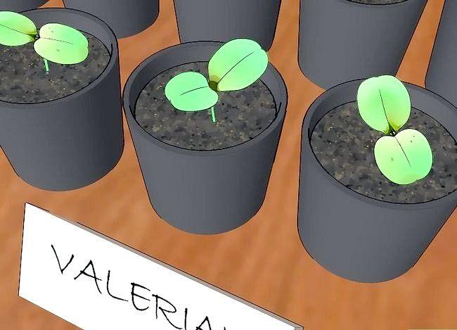 Valeriaan kweken