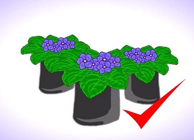 Afrikaanse viooltjes binnen groeien