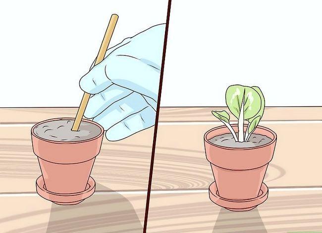 Titel afbeelding Grow African Violets Step 8
