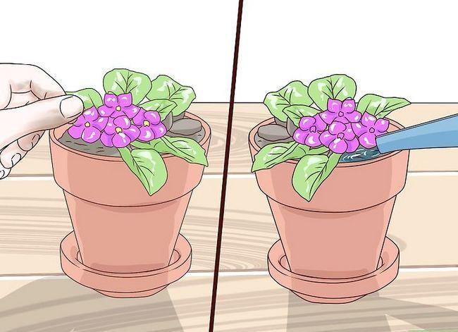 Titel afbeelding Grow African Violets Step 10