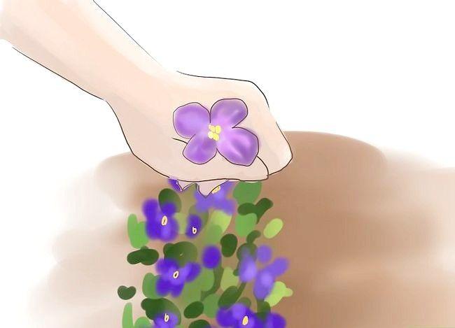 Titel afbeelding Grow Violets Step 7