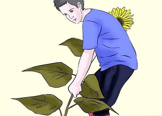 Hoe zich te ontdoen van zonnebloemen