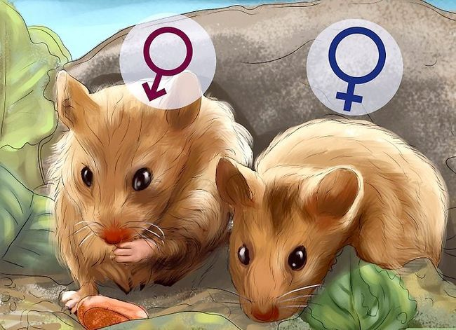 Titel afbeelding Determine the Sex of a Dwarf Hamster Step 6