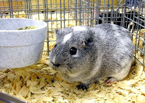 Titel afbeelding Guinea Pig, Nice and Cute