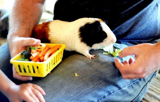Titel afbeelding Feeding Guinea Pig bij Zoomars