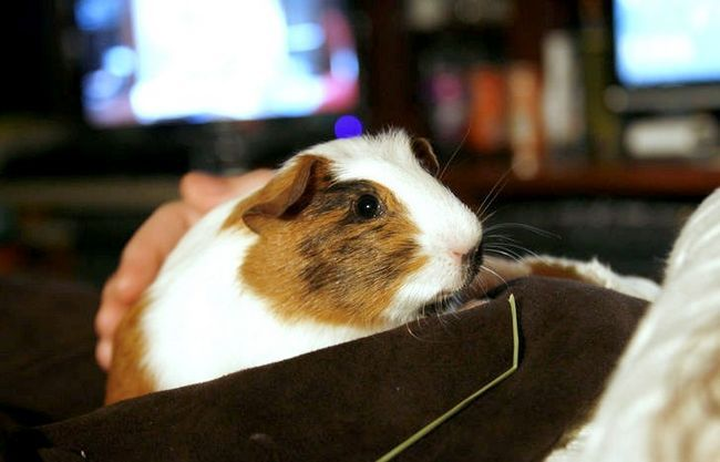 Titel afbeelding My new Guinea Pig! 1