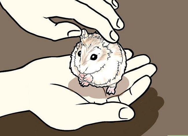 Titel afbeelding Tame a Roborovski Hamster Step 7