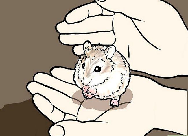 Titel afbeelding Tame a Roborovski Hamster Step 8