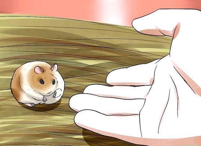 Titel afbeelding Tame a Dwarf Hamster Step 6
