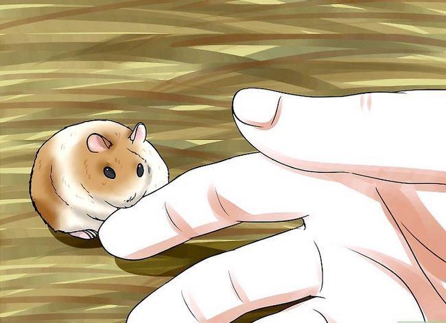 Titel afbeelding Tame a Dwarf Hamster Step 9